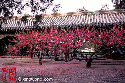 天坛公园 -- 树 Tiantan (Temple of Heaven) Park -- Tree