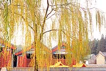Picture of 金树 Golden Tree